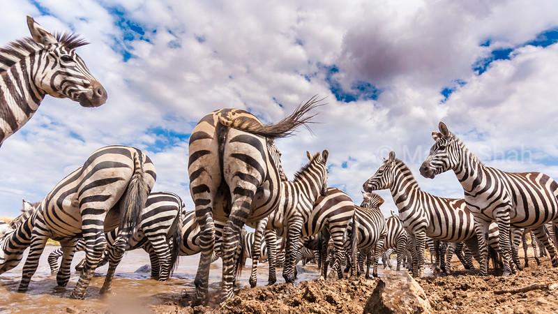 zebra herd at the river