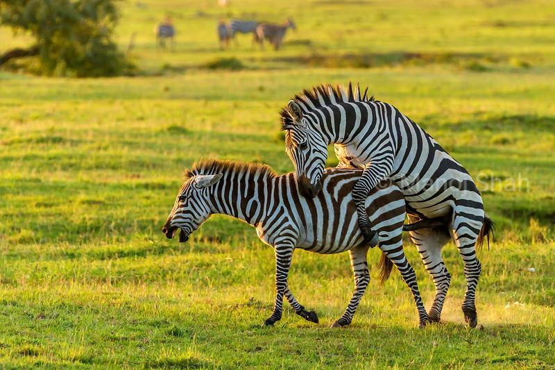 Zebra couple in copulatoin mode in Masai Mara.