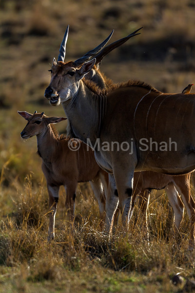 Cape eland mother with baby in Masai Mara