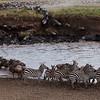 Zebras and wildebeest crossing river