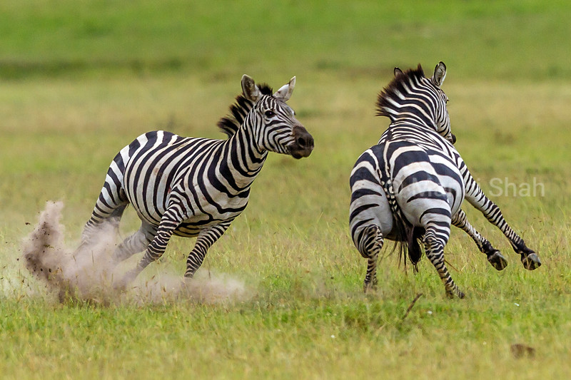 Zebras start duelling for supremacy in Masai Mara. The zwbras are trying to bite the opponents back by going round in a circle.