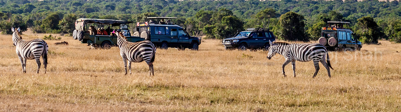 Zebra walking past tourist vehicles in Laikipia savanna, Kenya