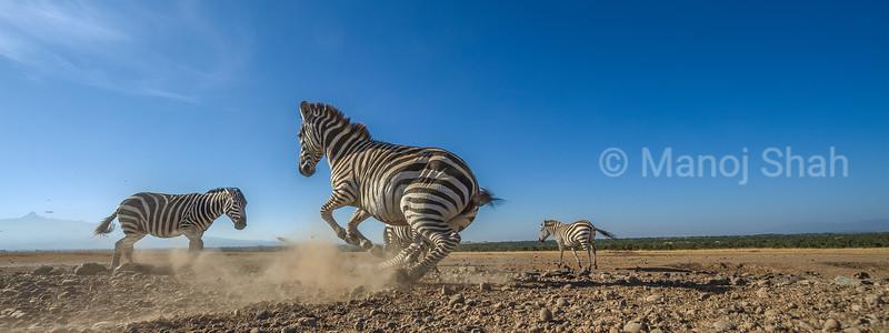 Zebra running ti join the herd in Laikipia savanna