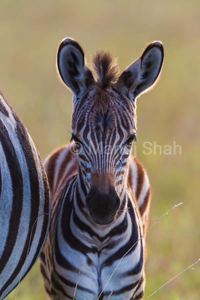 Zebra foal with mother grazing nearby