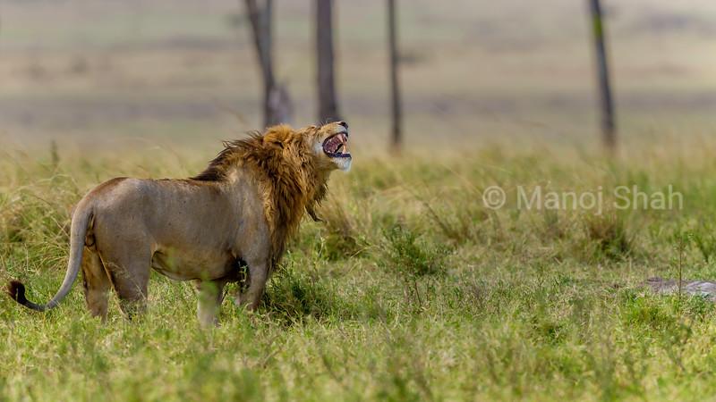 Male lion performs flehmen gesture in Masai Mara.