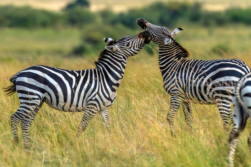 zebras play fighting in Masai Mara.