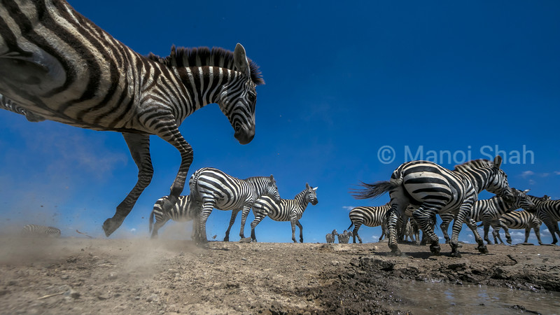zebras panicking at the waterhole in Laikipia