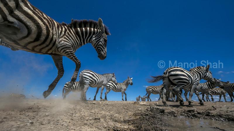 zebras panicking at the waterhole in Laikipia