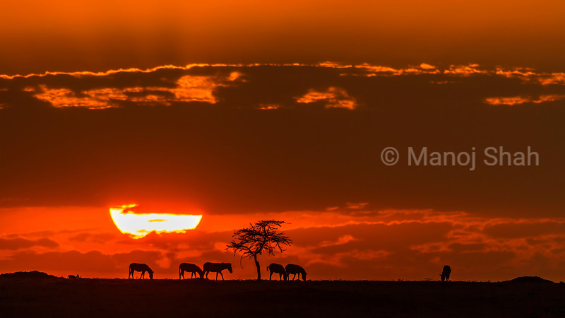 Sunrise with zebras in Masai Mara savanna.