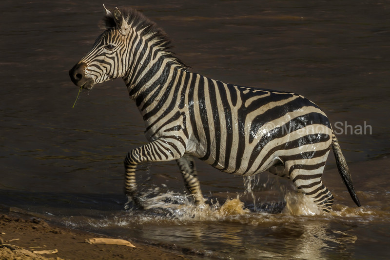 Zebra finishing crossing the river in Masai Mara.