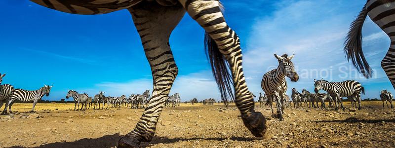 Zebrae herd in Laikipia savanna