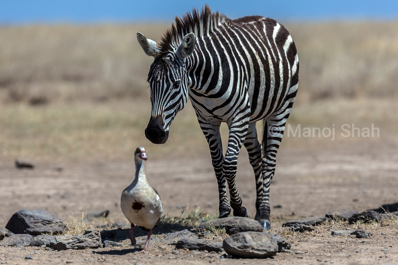 A zebra follows a white faced tree duck walking on Laikipia plains.
