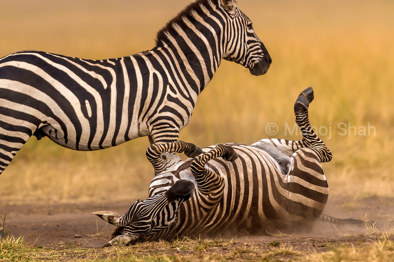 Zebra rolling down on dusty ground in Masai Mara. This procedure gets rid of blood sucking parasites especially on the zebra's back.