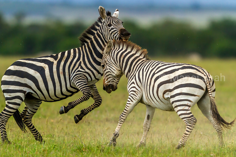 Zebras start duelling for supremacy in Masai Mara. Biting the opponant is rampantly carried out in the duels by the herbivorous males.