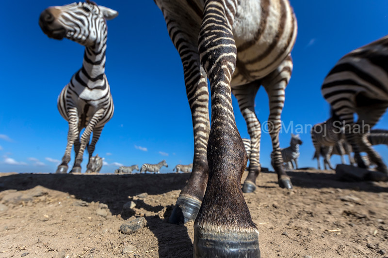 zebra herd at waterhole in Laikipia.