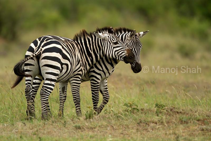 Zebras grooming each other in Masai Mara.