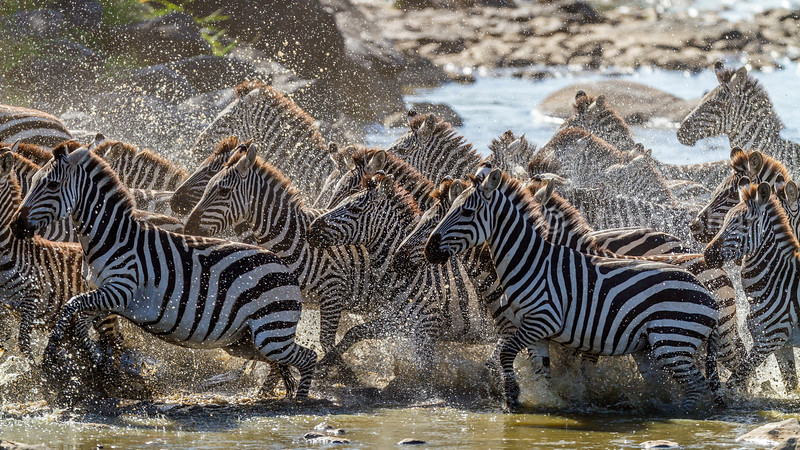 Zebra herd rushing through Mara River in Masai Mara.