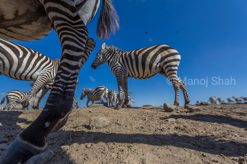 zebra herd at waterhole in Laikipia.