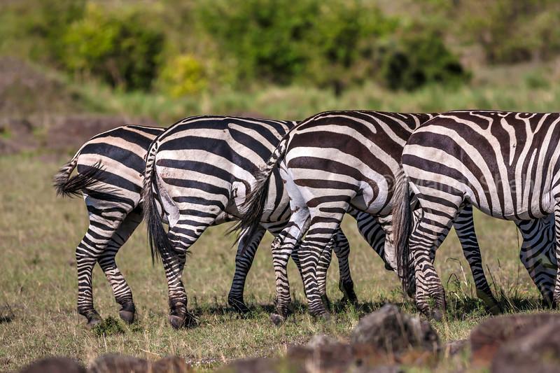 Zebra backs in Masai Mara.