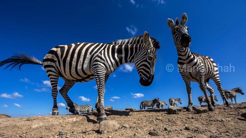 zebra waling in Laikipia,