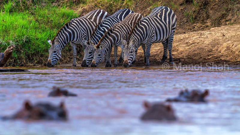 Zebras drinking from a river infested with hippos in Masai Mara.