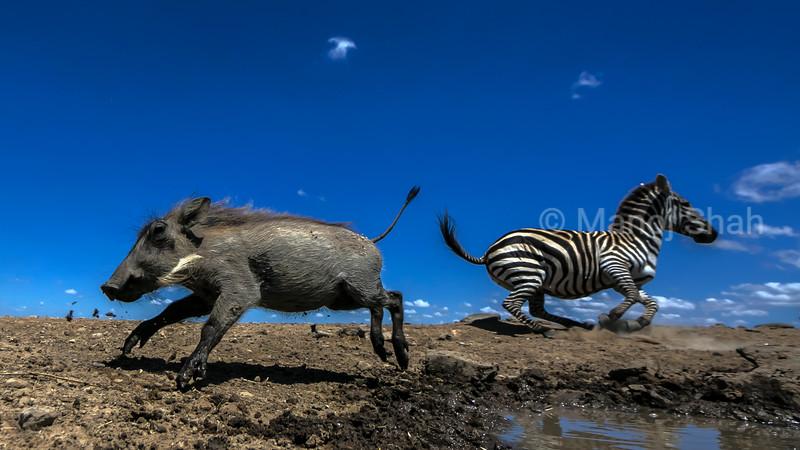 warthog and zebra running at laikipia,