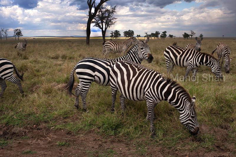 zebras grazing in the savanna in Masai Mara.