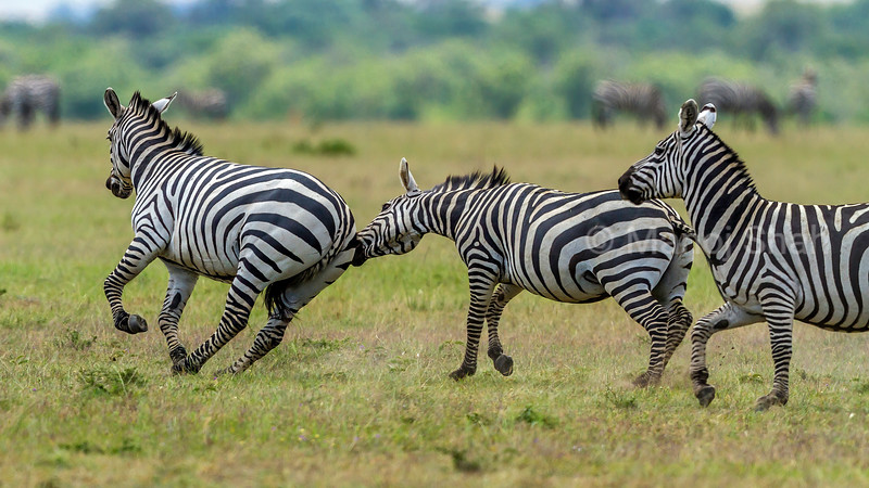 Zebras start duelling for supremacy in Masai Mara. Biting the hind legs of the opponant is rampantly carried out in the duels.