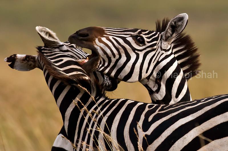 Zebra sitting