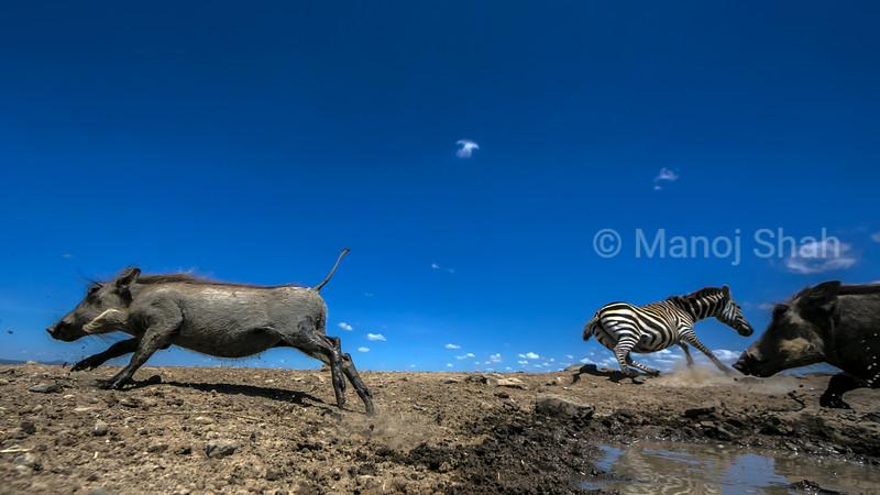 Warthogs and zebra at waterhole in Laikipia