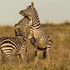 Male zebras fighting