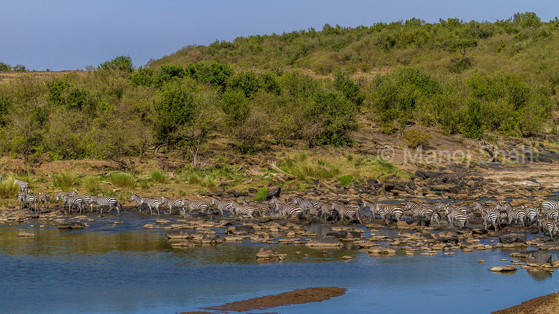 Zebra herd crossing Mara River in Masai Mara.