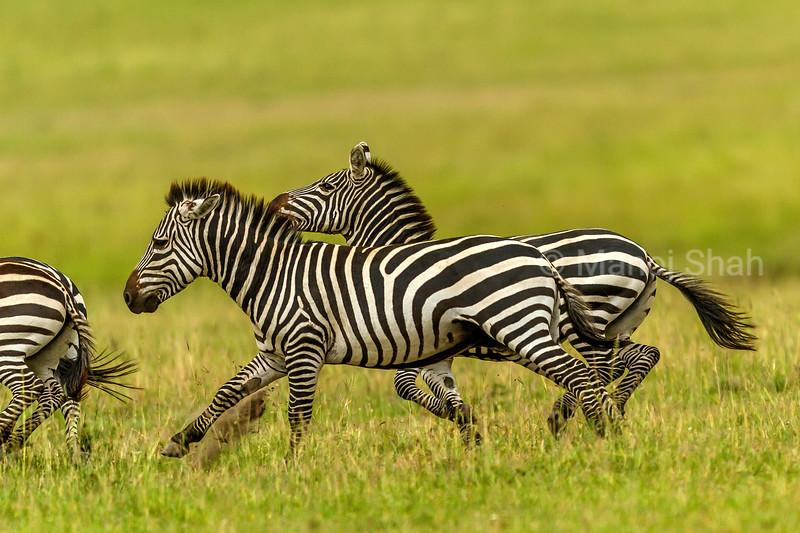 Zebras running in Masai Mara savanna
