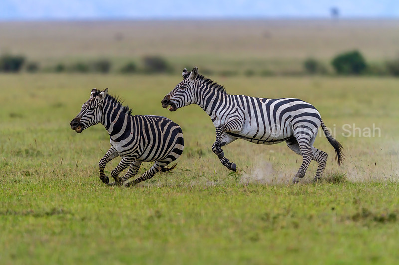 Male Zebras chasing and duelling for supremacy in Masai Mara,