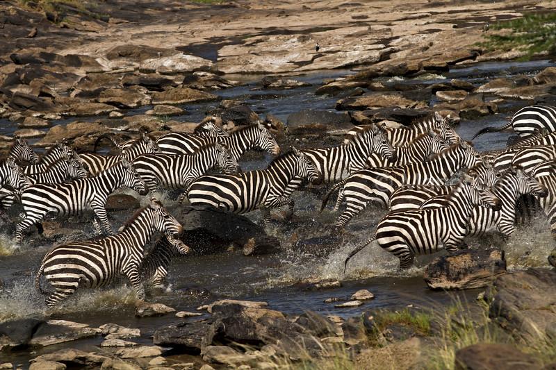 Zebras crossing Mara river