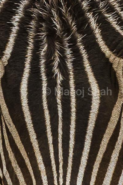 Zebra forehead skin.