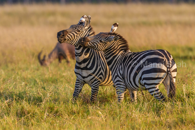 Zebras greeting each other in Masai Mara.
