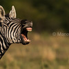 Zebra male calling