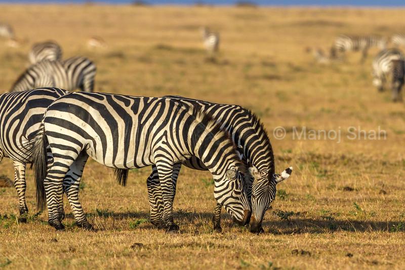 Zebras greeting each othe while grazing in Masai Mara.
