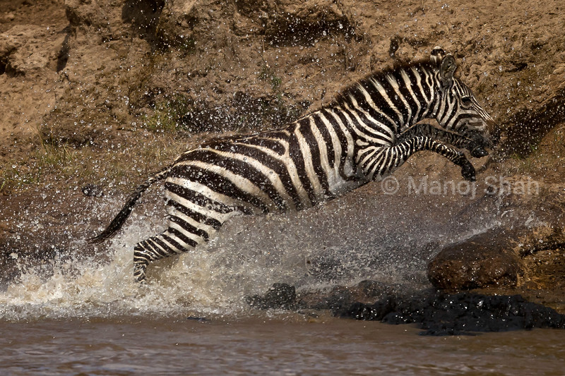 Zebra running in river
