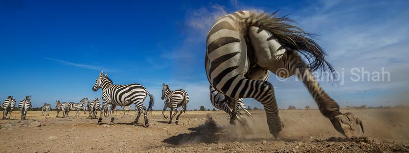 An alarm call makes the zebras bolt to safety in Laikipia savanna.