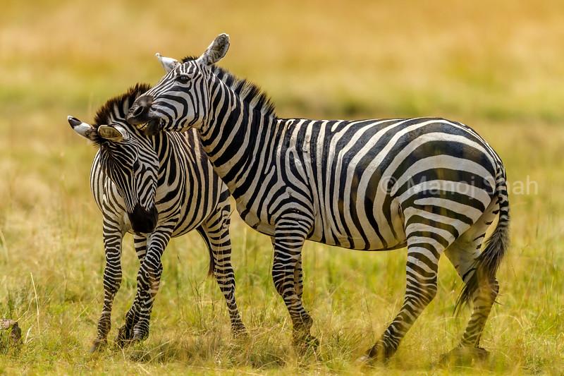 zebras play fighting in Masai Mara.