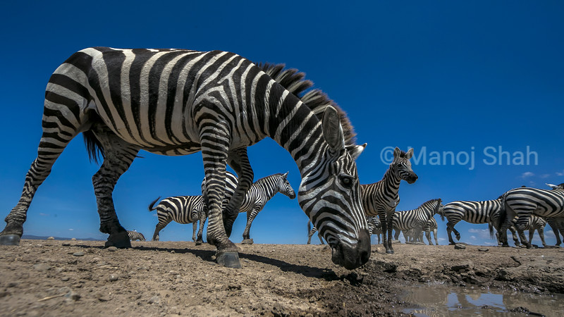 Zebras going for a water at a waterhole to quench their thirst
