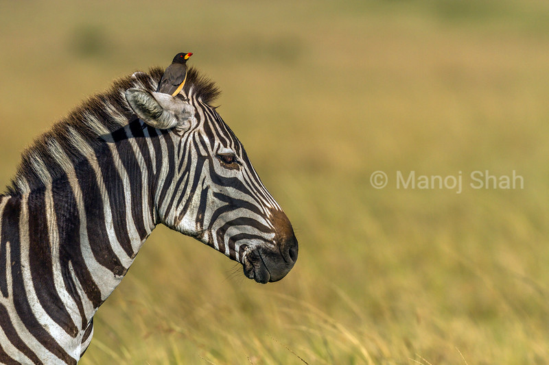 Yellow-Billed Oxpecker on top of a zebra's head in Masai Mara