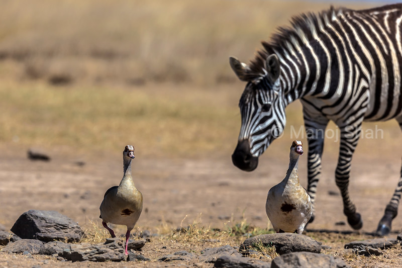 A Zebra watches two tree duks strolling on the plains in Laikipia,