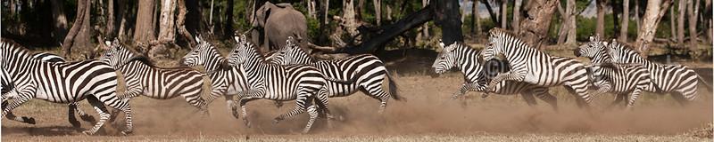 Zebra herd running