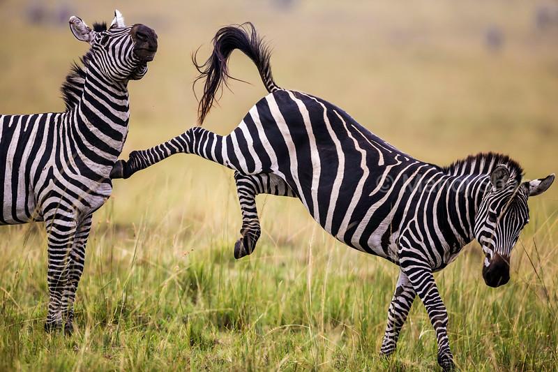 Male Zebra kicking another male warning him to stay away in Masai Mara.