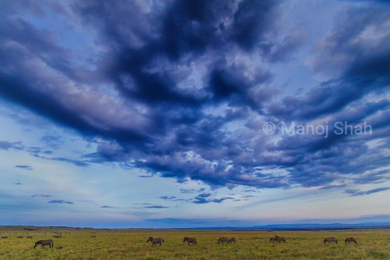 Zebras grazing under rain clouds in Masai Mara