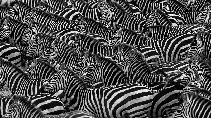Zebras gathered in mass at the Mara River crossing point in Masai Mara.