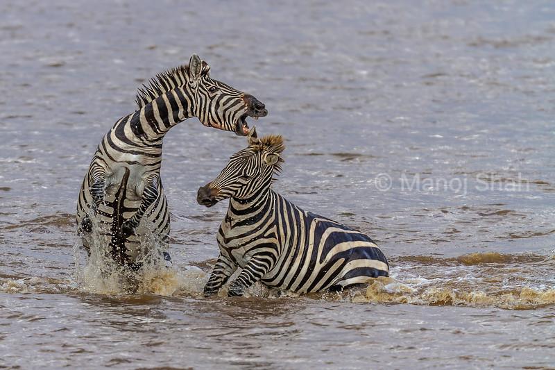 Male Zebras in combat while crossing the Mara River in Masai Mara.